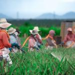 farming cotton for bags